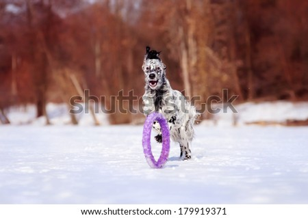English Setter running for puller, winter - stock photo