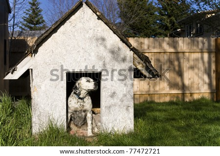 English Setter sitting in a weathered dog house. - stock photo