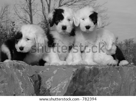 english sheepdog puppies black and white - stock photo