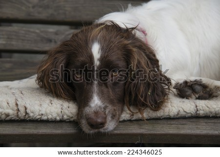 English spring spaniel relaxing on a bench - stock photo