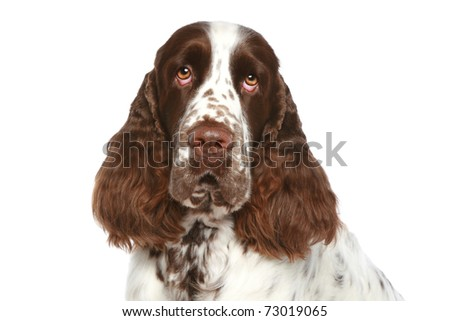 English Springer Spaniel. Close-up portrait on a white background - stock photo