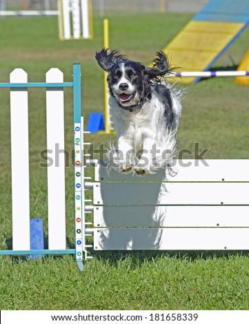 English Springer Spaniel Dog Jumping Over Agility Fence - stock photo