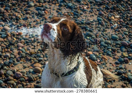 English Springer Spaniel Dog Patiently Waiting - stock photo