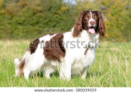 English springer spaniel dog standing in field - stock photo