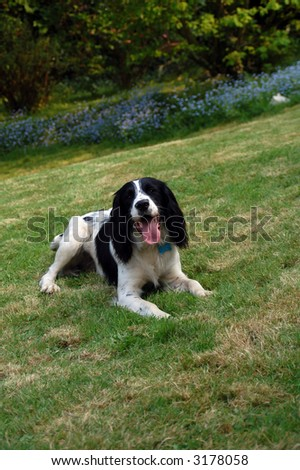 English springer spaniel lying down on the grass with bluebells in the background. - stock photo