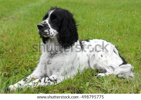 English Springer Spaniel lying on the grass, looking away