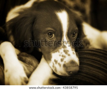 English Springer Spaniel Portrait - stock photo