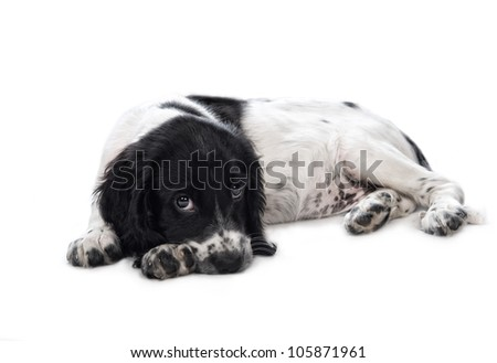 English springer spaniel puppy - stock photo
