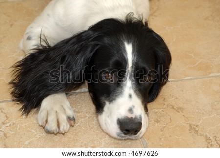 English springer spaniel puppy lying down on the floor looking up at the camera - stock photo