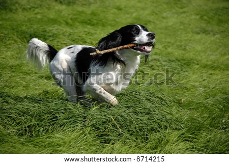English springer spaniel running through the long grass with a stick in his mouth - stock photo