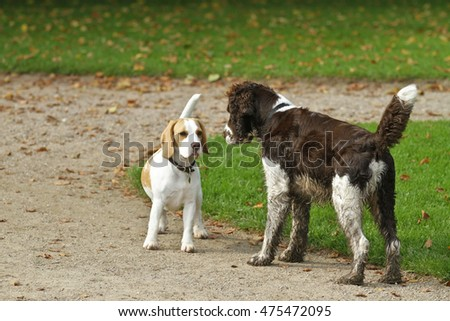 English Springer Spaniel, shot outdoor in nature