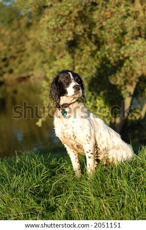 English springer spaniel sitting by the river after having a swim. - stock photo