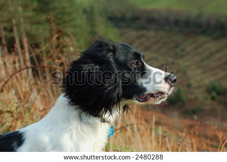 English springer spaniel sitting down looking out over the countryside. - stock photo