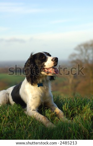 English springer spaniel sitting down looking out over the countryside.Portrait view with copy space. - stock photo