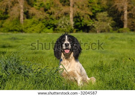 English Springer Spaniel sitting  in the long grass. - stock photo