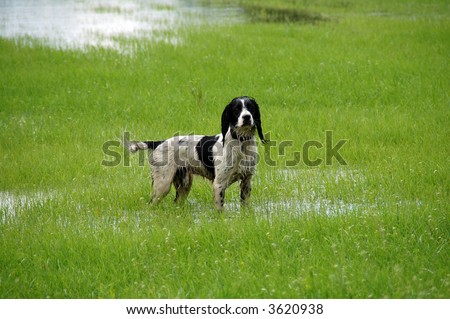 English springer spaniel standing in water in a field