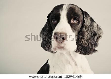English Springer Spaniel studio portrait with facial expression. - stock photo