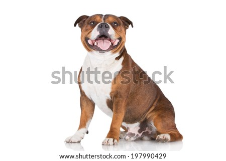 english staffordshire bull terrier dog - stock photo