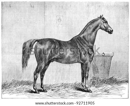 "English Thoroughbred Horse Stallion. Vintage engraving from Swedish magazine ""Ny Illustrerad Tidning"" printed in 1866. - stock photo"