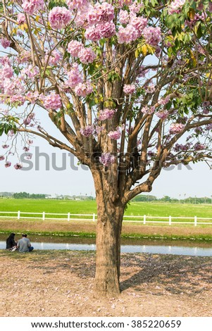 Enjoy traveling and relaxing Tabebuia rosea flowers blossom festival in the park.
