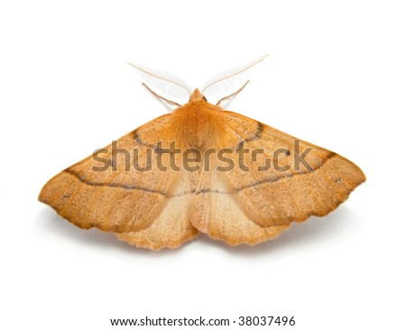 Ennomos autumnaria butterfly - stock photo