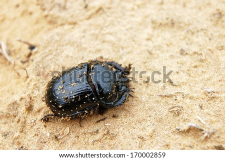 Enormous black beetle