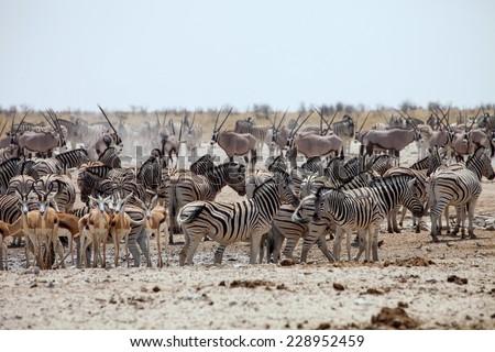 enormous number of animals at the waterhole in the Etosha National Park, Damara zebra, Equus burchelli antiquorum,Springbok,Antidorcas marsupialis, Gemsbok,Oryx gazela - stock photo