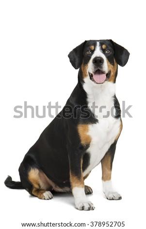 Entlebucher Mountain Dog on a white background in the studio . - stock photo