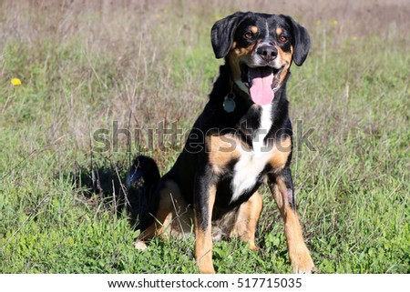 Entlebucher Mountain Dog Sitting In Field