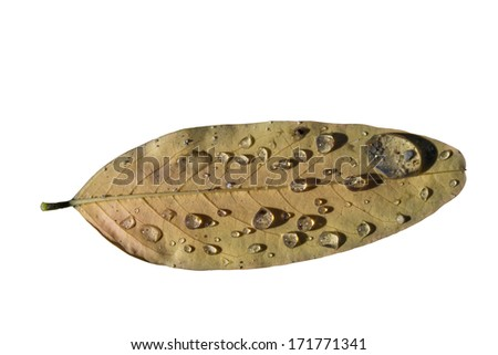 Environmental conservation concept: death autumn leave with dirty drops of water. Isolated on white with clipping path.  - stock photo