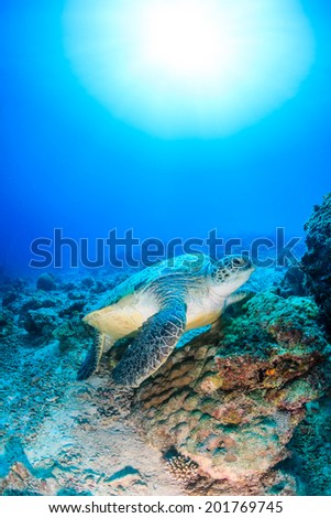 Environmental Damage -  A Green Turtle on a bleached, dead, coral reef with a sunburst behind - stock photo