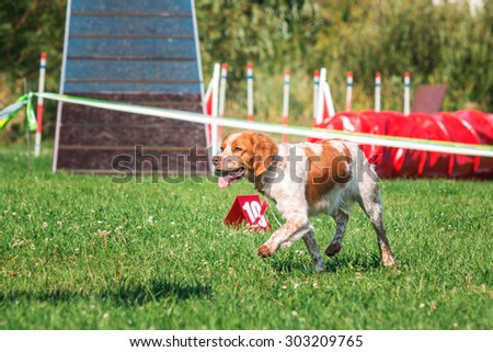 Epagneul Breton dog running in agility - stock photo