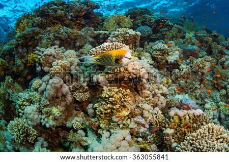 Epibulus insidiator on the reef of the Red Sea - stock photo