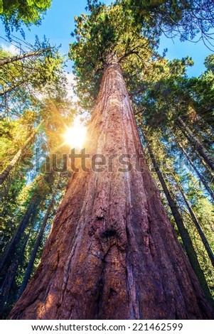 Epic Sequoia Place in the Middle of Sequoia National Park Forest. Summer Day. California, USA. - stock photo