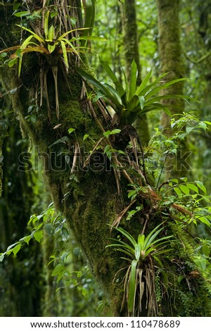 Epiphytes in cloudforest, International Park la Amistad, Chiriqui province,Panama,Central America