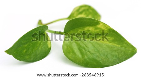 Epipremnum aureum or Money plant over white background - stock photo