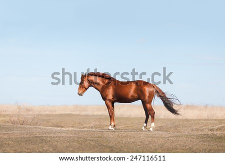 equestrian horse standing at the field  - stock photo