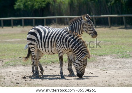 Equus quagga burchelli is a common zebra