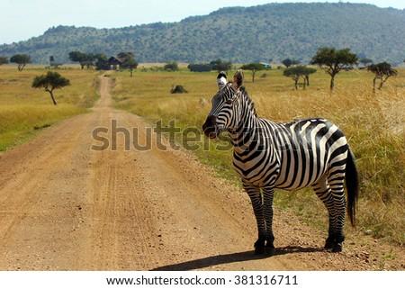 Equus quagga - Zebra standing on the road in Masai Mara National Park, Kenya - stock photo