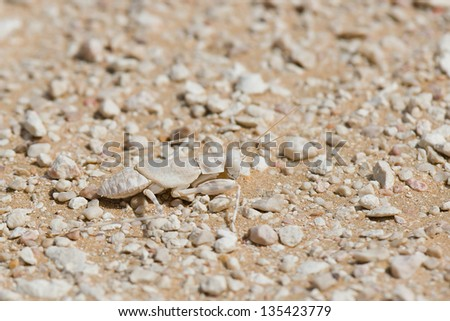 Eremiaphila sp. in the desert of Oman