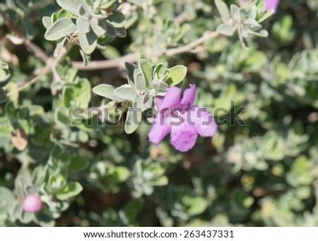 Eremophila nivea purple flowers blossom - stock photo