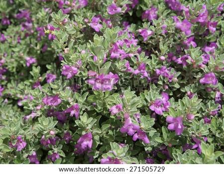 Eremophila nivea purple flowers blossom, selective focus on the flower - stock photo