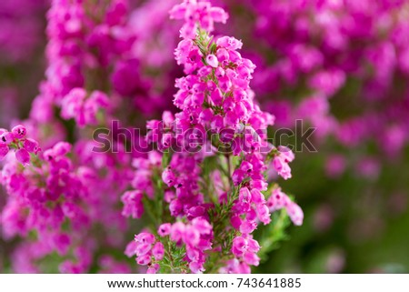 Gracilis stock images royalty free images vectors for Erica gracilis