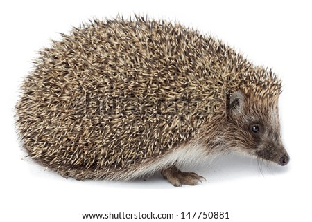 Erinaceus europaeus, western European Hedgehog, in front of white background, isolated. Denisovo, Ryazan region, Pronsky area. Russia - stock photo