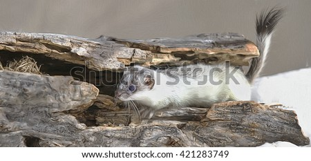 Ermine weasel with coat turning white for winter,photo art