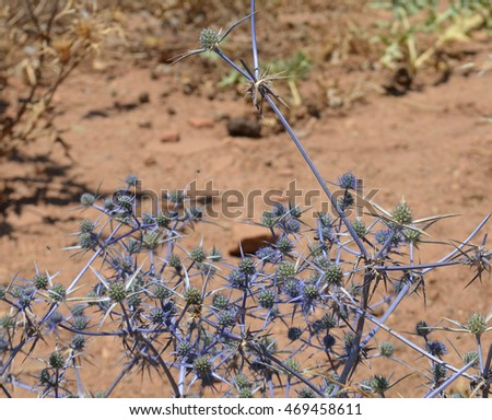 Eryngium Sea Holly in Crete, Greece
