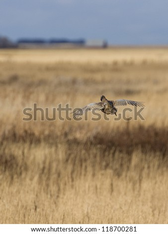 Escaping Rooster Pheasant - stock photo