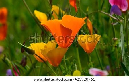 Eschscholzia californica wildflowers - stock photo