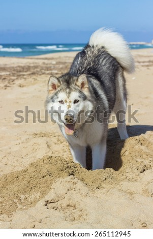 Eskimo dog having fun on sandy beach