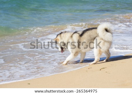 Eskimo dog playing with sea water